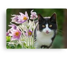 Cat looking through pasque flowers Canvas Print