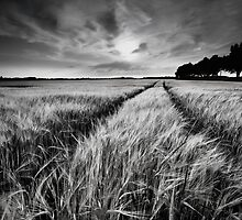 Wheat field, black and white by Olha Rohulya
