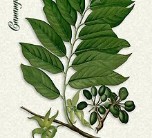 Botanical illustration of Ylang Ylang by Irisangel