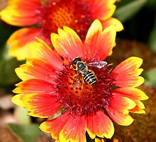 Honeybee on Coreopsis by Paula Tohline  Calhoun