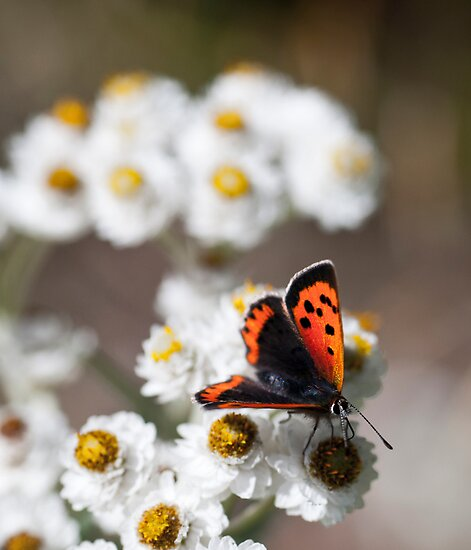 Small Copper Butterfly by Stephen Maxwell