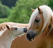 Haflinger mare and foal cuddling by Katho Menden