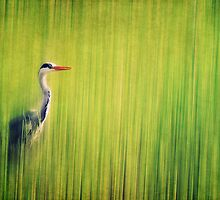 Grey Heron by AD-DESIGN