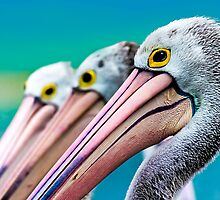 Gazing Pelicans by MichaelHolmes