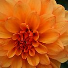 Orange Dahlia by RedHillDigital