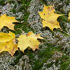 Yellow leaves on a boulder by DArthurBrown