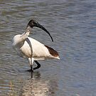 Australian White Ibis by Robert Elliott