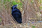 Satin Bowerbird ~ Man at work by Robert Elliott