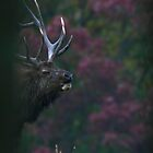 Bugling Elk On The Mountain by Geno Rugh