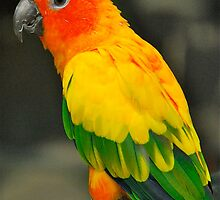 Sun Conure by Penny Smith
