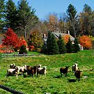 Sheep Farm in the Vermont Countryside by Julie Everhart