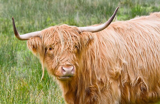 Highland Cow by Margaret S Sweeny