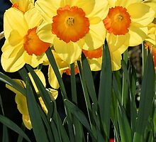Daffodils by jentiller