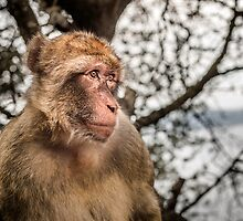 Barbary Macaque - Gibraltar by maxblack