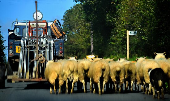 Sheep Herding Along A Country  Road by lynn carter