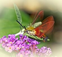 Clearwing Hawk Moth - Hemaris thysbe by MotherNature2