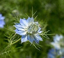 Love-in-a-Mist by Judi Lion