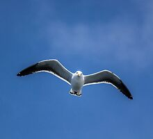 Gull in the sky by Mathieu Longvert