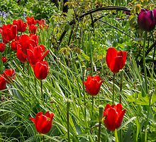 Red tulips by Judi Lion