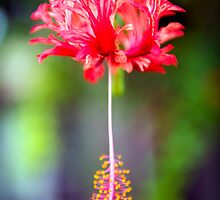 The Christmas Flower by Adrian Alford Photography