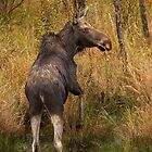 Algonquin Moose by Jim Cumming