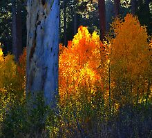"""Glowing Aspens"" by Lynn Bawden"