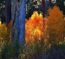 """""""Glowing Aspens"""" by Lynn Bawden"""