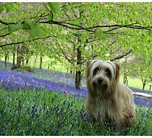 Brodie in the Bluebells by Carole Gledhill