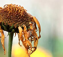 Sunflower by PJRPHOTOGRAPHY