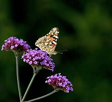 Painted Lady Butterfly  by Sue Robinson