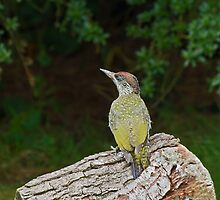Green Woodpecker by Sue Robinson