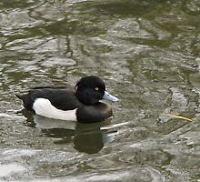 Tufted Duck by Sue Robinson