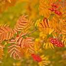 Mountain Ash  by Sandra Foster