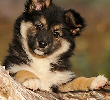 """Puppy-eyed""  Icelandic Sheepdog by Katho Menden"