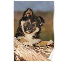 """Puppy-eyed""  Icelandic Sheepdog Poster"