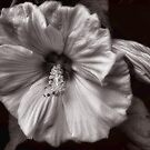 An Old Fashioned Mallow Bloom by LouiseK