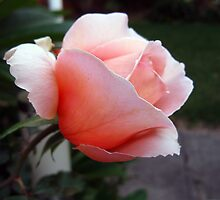 Blushing Rose. by JDWPhotos