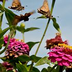 Last of the Summer Skippers by Yvonne Roberts