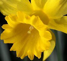 Daffodil  by Joy Watson
