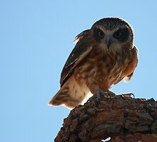 Boobook Owl in Broad Daylight by Nick Delany