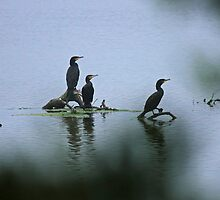 Great Cormorants  by Nick Delany