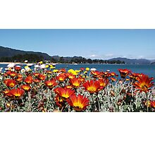 Gazania's at Tairua Photographic Print