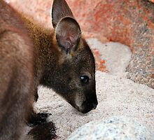 Bennett's Wallaby On Beach by Nick Delany