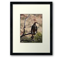 Whistling Kite Framed Print