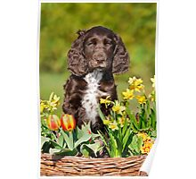 Spaniel puppy amidst spring flowers Poster