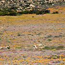 Springbokkies in Namakwaland by Antionette