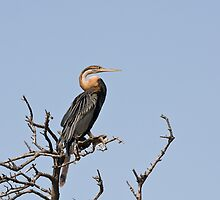African Darter by Sue Robinson