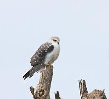 Black-shouldered Kite by Sue Robinson