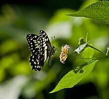 Citrus Swallowtail Butterfly by Sue Robinson