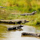 Alligator Meeting by imagetj
